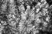 Pine Cone And Green Needles On Fir Tree In Krakow, Poland. Nativity, Christmas, Holiday Celebration  poster