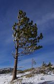 stock photo of wind blown  - A wind blown pine tree on a snowy ridge - JPG
