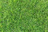 Natural Grass. Grass Texture Or Grass Background. Green Grass For Golf Course, Soccer Field Or Sport poster