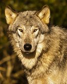 Closeup Portrait Of A Wolf Staring Right Into The Camera poster