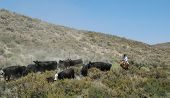 picture of buckaroo  - Cowboy at work herding his cattle in Nevada Desert - JPG