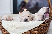 Portrait Of Two Weeks Old Cute Golden Retriever Puppy In The Basket. Image Of Sweet Golden Retriever poster