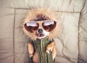 cute chihuahua with a hoodie and sunglasses on toned with a retro vintage instagram filter   poster