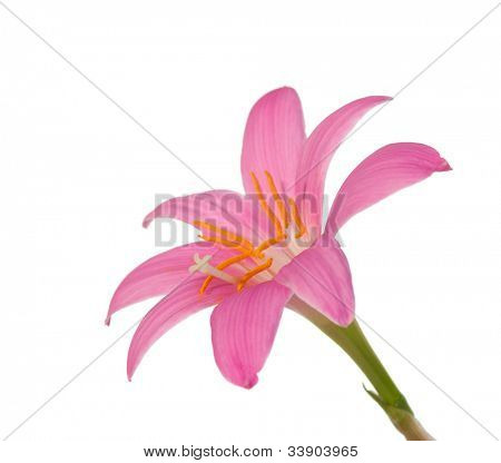 lirio Rosa aislado sobre un fondo blanco. Zephyranthes candida