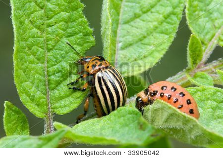 Colorado Potato Beetle, Leptinotarsa Decemlineata