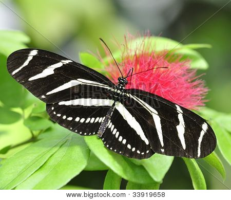 Zebra Longwing (Heliconius Charitonius) Butterfly