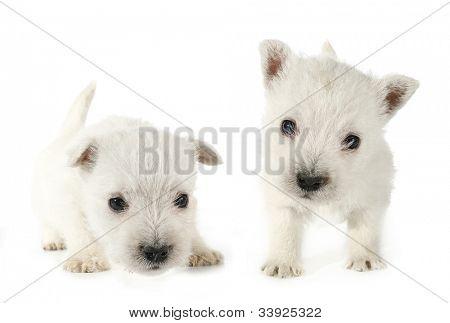West Highland White Terrier Westie puppies