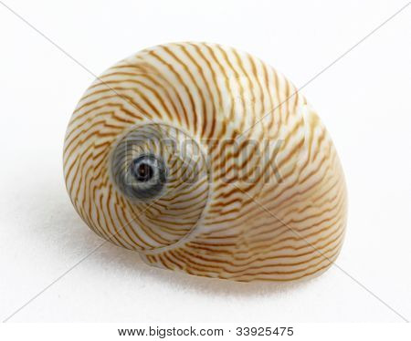 Lined Moon snail (Natica lineata) on white background, marine gastropod mollusk
