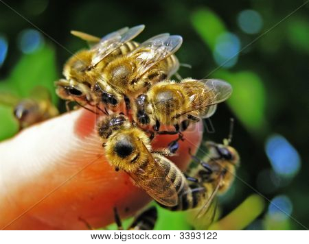 Bees On The Finger Of Hand.