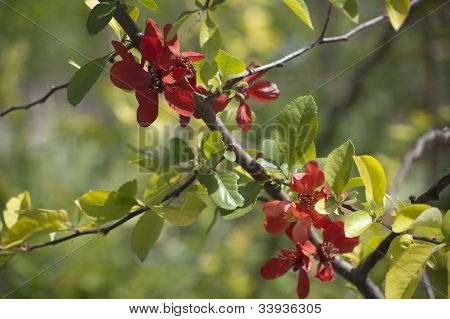 Blooming Japanese Quincetree