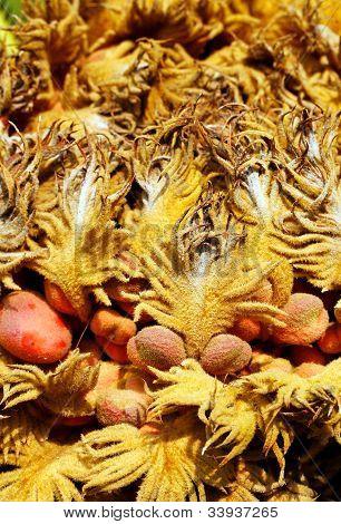 Closeup Of Cycas Reproductive Female Cone & Seeds