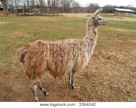 Llama In Profile