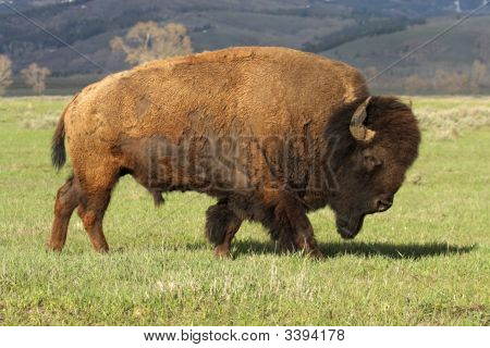 A Wild America Bison