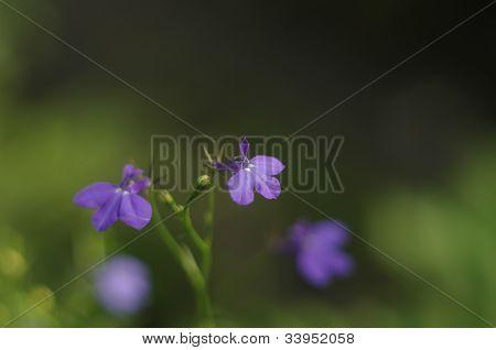 Little violet flowers