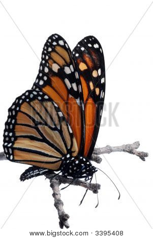 Isolated Monarch Butterfly On A Branch