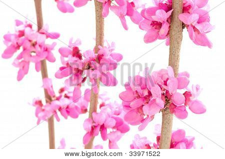 Close up of chinese redbud