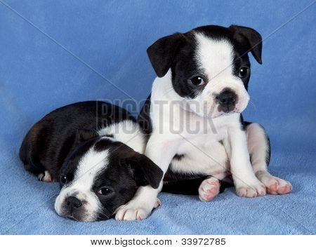 Two Boston Terrier Puppies