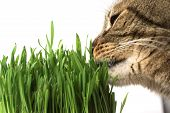stock photo of catnip  - Close - JPG