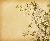 foto of cherry blossoms  - aged paper texture with Cherry Blossom - JPG