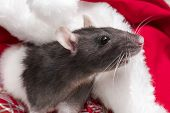 Year Of The Cute Rat.cute Rat Sitting In Santas Hat Close Up.cute Domestic Rat In A New Years Decor. poster