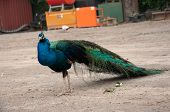 stock photo of peahen  - Beautiful peacock looking for a peahen to display for - JPG