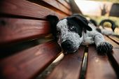 Adorable Blakc Border Collie Puppy Resting On A Bench poster