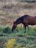 Brown Horse With Black Mane Out Grazing On Grasses In Field poster