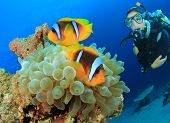 picture of biodiversity  - Clownfish and Scuba Diver - JPG
