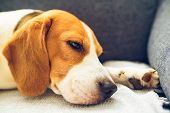 Beagle Dog Tired Sleeps On A Cozy Couch In Bright Room. Closeup, Canine Background poster