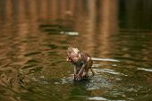 Monkey Cub Shakes Off Water In The Lake. Little Ape Is Bathing In The Pond poster