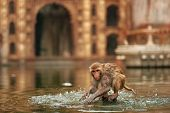 Funny Monkey Sits In Pond Of Monkey Temple And Plays With Water. Cute Monkey At Ancient Temple Backg poster