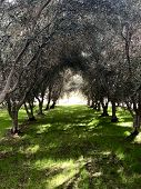 Olive Grove On An Olive Tree Farm In Temecula poster