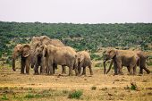 Herd Of Elephants In Addo National Park, South Africa poster