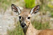 Endangered Female Key Deer (subspecies Of White-tailed Deer) On Big Pine Key, Florida Keys, Fl poster