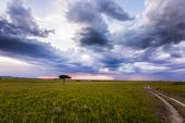 Lonely tree in the middle of a grassy savannah. The vast expanses of the Horn of Africa. The Masai  poster