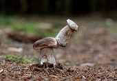 foto of bolete  - One bolete sit on cap the second bolete - JPG