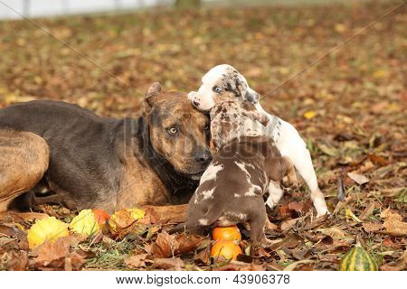 Louisiana Catahoula Dog Playing With Puppies