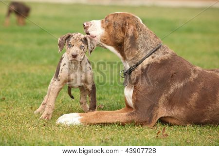 Louisiana Catahoula perra con cachorro
