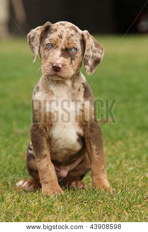 Louisiana Catahoula Puppy On The Grass