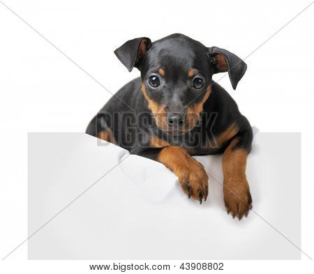 Dog hold empty paper isolated on white