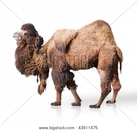 Portrait Of Camel Isolated On White Background