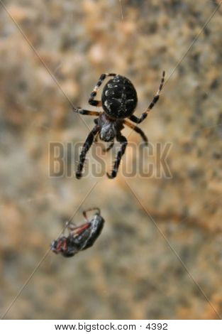 Spider Eating Fly