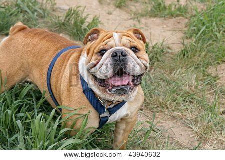 a bulldog in the grass