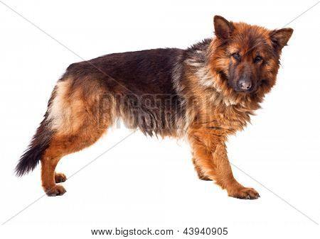 portrait of german sheperd long fur on white