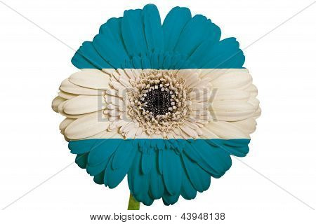 Gerbera Daisy Flower In Colors National Flag Of El Salvador   On White Background As Concept And Sym