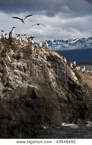 King Cormorant colony, Beagle Channel