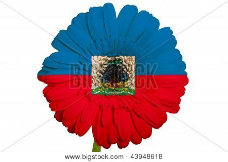 Gerbera Daisy Flower In Colors National Flag Of Haiti   On White Background As Concept And Symbol Of
