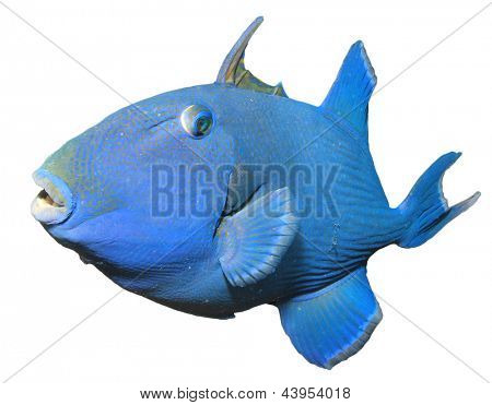 Blue Triggerfish isolated on white background