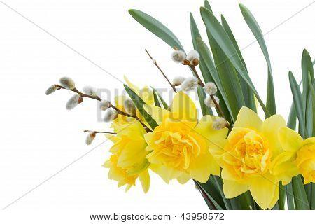 narcisos flores com amentilhos