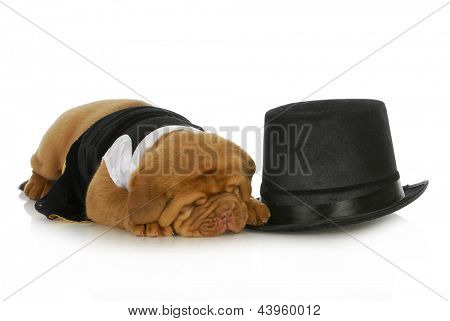 formal dog - dog dressed up in black suit and tie laying beside top hat isolated on white background